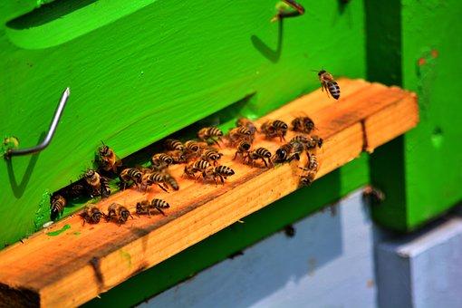 Bee, Bees, Honey Bee, Keeper