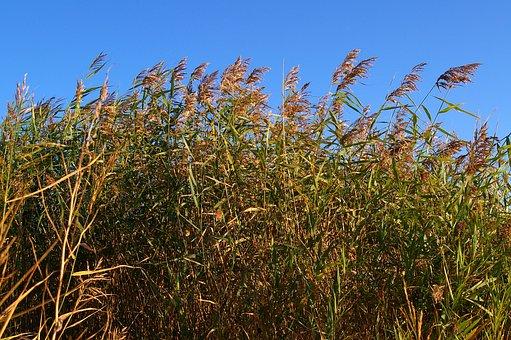 Reed, Bank, Water, Nature, Lake, Grass, Landscape