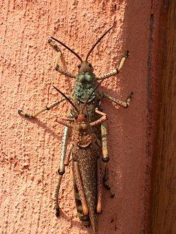 Insect, Macro, Grasshopper, Bug, Hopper, Locust, Jump