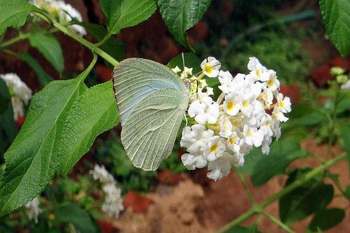 Butterfly, Common Emigrant, Catopsilia Pomona, Macro