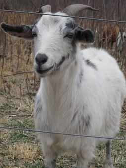 Goat, Animal, Farming, Mammal, Livestock, Milk, Meat