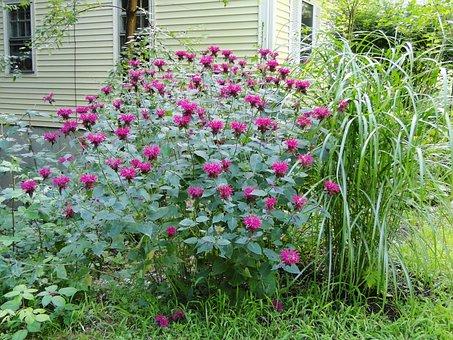 Monarda, Bee Balm, Perennial, Garden, Flowers, Plant