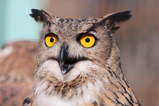Owl, Bird, Animal, Wild, Feathered Race