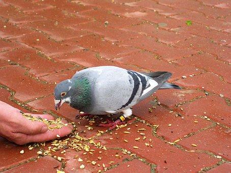 Pigeon, Bird, Animal, Food, Feeding, Grain