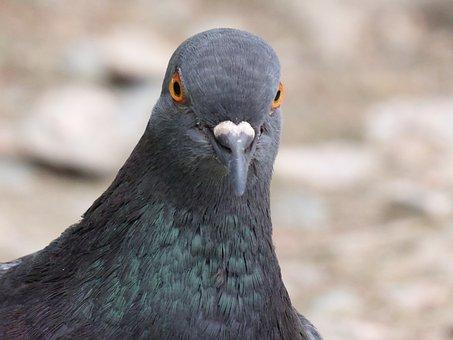 Pigeon, Feral, Feral Pigeon, Wildlife, Nature, Grey