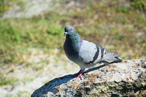 Pigeon, Bird, Avian, Dove, Gray, Tail, Beak, Wings
