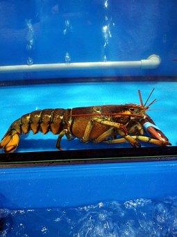 Lobster, Live, Seafood, Crustacean, Gourmet, Raw, Alive