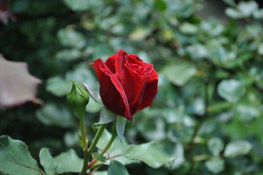 Rose, Red Rose, Red, Abe Lincoln Rose, Flower, Love