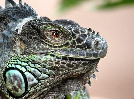 Iguana, Lizard, Reptile, Animal, Dragon, Green, Scaly