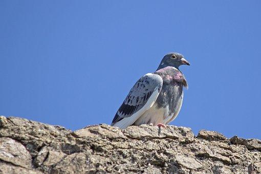 Dove, Rock Pigeon, Bird, Animal, Wall