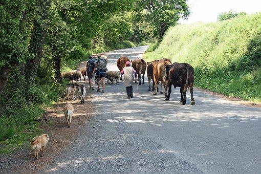 Jakobsweg, Camino, Spain, Roar, Cows, Tourists