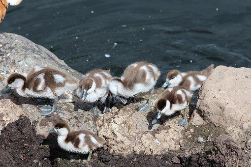 Ogar, Chick, Tadorna Ferruginea, Duck, Waterfowl