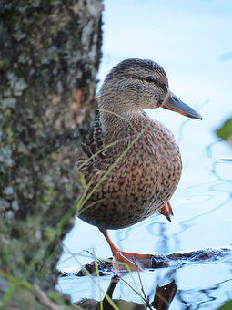 Mallard, Anas Platyrhynchos, The Flippers, Female