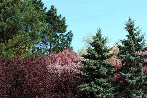 Flowering Trees, Colorful, Tree, Spring, Cherries