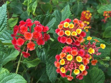 Indian Lantana, Tropical Flowers, Arizona, Scottsdale