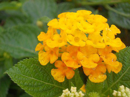 Flower, Yellow, Lantana, Tropical, Kantutay, Leaves