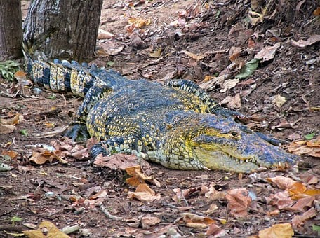 Crocodile, Caiman, Wild, Reptile, Watchful, Dangerous