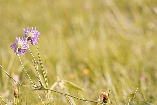 Meadow, Wildflowers, Deaf-skabiose, Pigeon Scabious