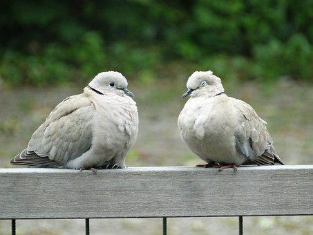 Pigeons, Wood Pigeon, Couple, Love