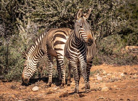 Africa, Zebras, Animal World, Safari, South Africa