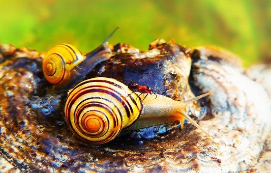 Wstężyk Huntsman, Snail, Ant Red, Insect, Animals