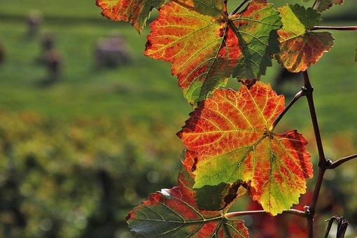 Foliage, Autumn, Leaf, Vineyard, Oct, Grape