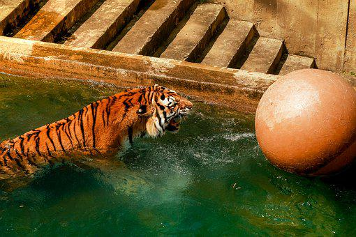 Tiger, Bathing, Zoo, Summer, Body Of Water, Ball, Stage