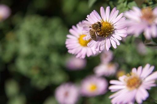 Bee, Flower, Garden, Nature, Animal, Pollen, Purple