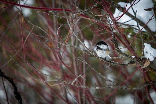 Chickadee, Bird, Wildlife, Nature, Winter, Outdoors