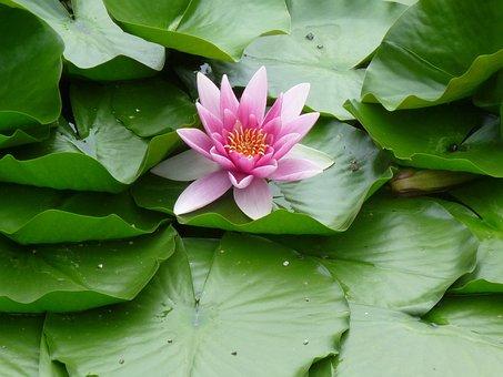 Water Lily, Blossom, Bloom, Aquatic Plant