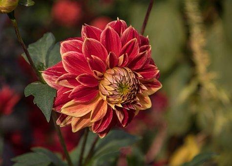 Flower, Dahlia, Plant, Blossom, Bloom, Flora, Bloom