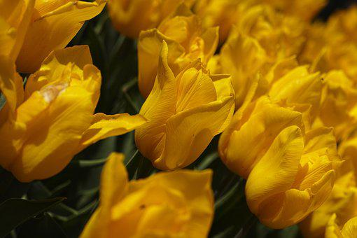 Tulips, Yellow, Spring, Color, Blooming, Flower
