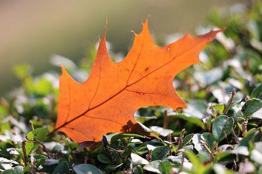 Leaf, Transparent, Brown, Autumn