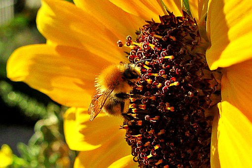 Sunflower, Bee, Bumblebee, Bug, Nature, Plant