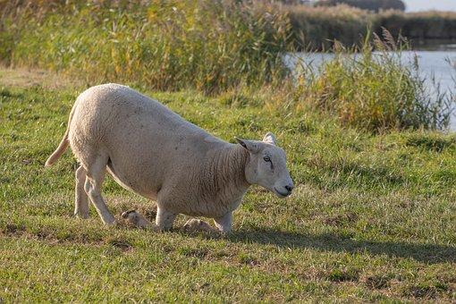 Sheep, Wool, White, Cattle, Animal, Meadow, Mammal