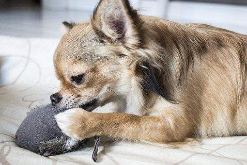 Animal, Dog, Chihuahua, Pet, Race, Brown, Chew On Toy