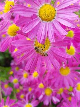 Flowers, Yellow, Autumn, Wood, Chrysanthemum, Bee