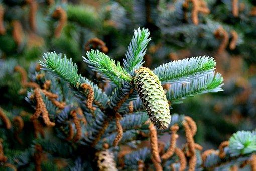 Spruce, Tap, Fich, Tree, Conifer, Pine Cones, Autumn
