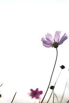 Cosmos, Autumn, Flowers