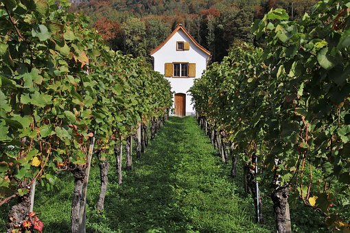 Vineyard, Elevation, Natural, Rebhaus, Autumn, Bush