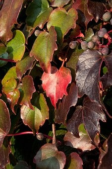 Wine Partner, Fall Foliage, Climber Plant, Coloring