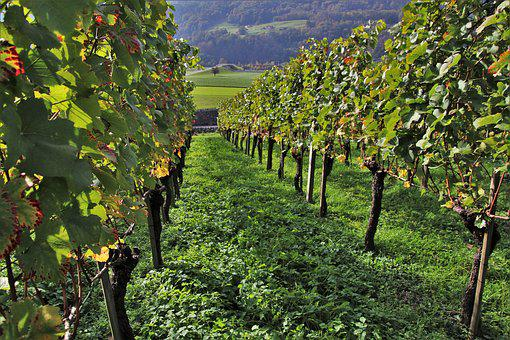 Vineyard, Grapes, Vines, Green, Elevation, View