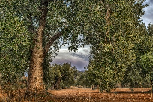 Olive, Field, Agriculture, Nature, Tree, Green, Olives