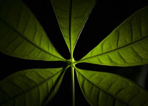 Leaves, Indoor Plant, Green, Indoor Flora, Money Tree