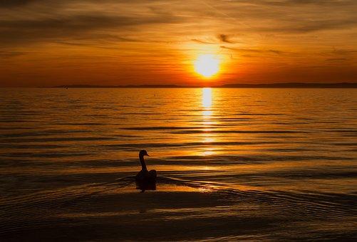 Swan, Lake, Water, Sunset, Golden, Gold, Silhouette