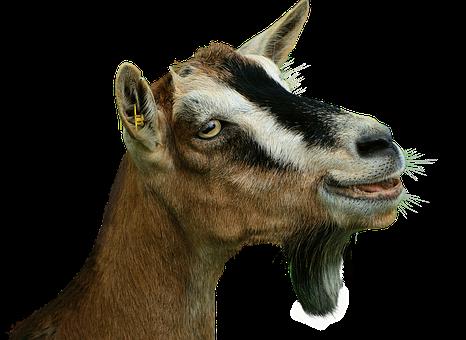 Prima Donna, Goat, Isolated, Livestock, Creature