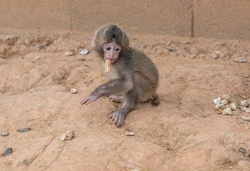 Baby Monkey, Peanut, Wildlife, Mammal, Adorable