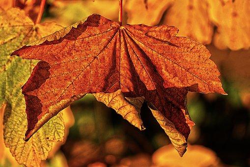 Maple Leaf, Leaf, Dry, Autumn