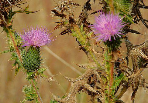 Thistles, Meadow, Barbed, Purple, Nature, Autumn