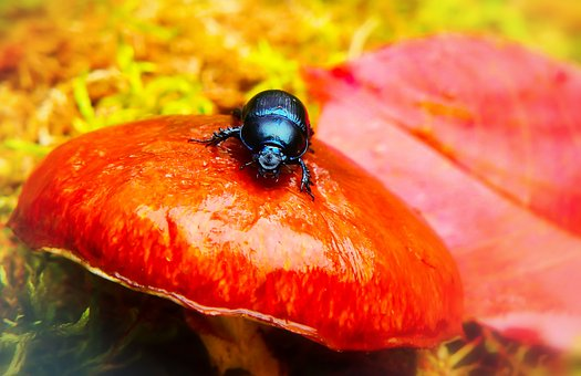Forest Beetle, The Beetle, Mushroom, Maslak, Autumn